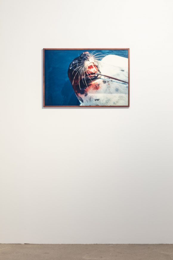 Jeroen de Rijke / Willem de Rooij, <i>Dead Seal</i>, 1996–99, C-print, framed; installation view KW Institute for Contemporary Art, 2017, Photo: Frank Sperling